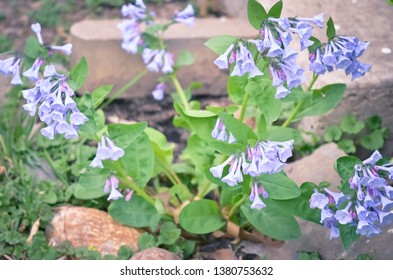 Cluster of Bluebell Flowers Growing in a Flower Bed