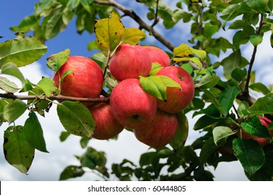 A cluster of bright red apples against a blue sky