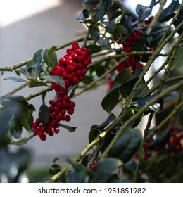 A cluster of bright red berries on a branch of a bush or tree with dark green leaves. A square photography with diagonal lines. Traditional Christmas red and green colors.