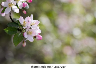 A cluster of cherry blossom in front of soft bright background
