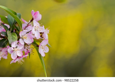 A cluster of cherry blossoms in front of soft yellow background