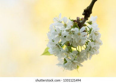 Cluster of Cherry flowers on light yellow background in close-yp view Cerasus vulgaris
