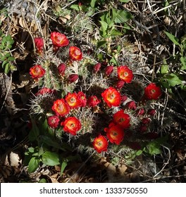 A cluster of claret-cup (or hedgehog) cactus flowers; Mogollon Rim in Apache-Sitgreaves National Forest in Arizona