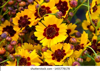 Cluster of Coreopsis tinctoria (Plains coreopsis, Calliopsis) a species of flower in the Asteraceae family. Flower heads are brilliant yellow with maroon or brown disc florets of various sizes
