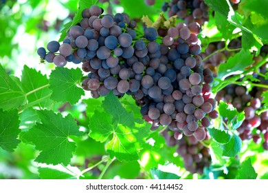 Cluster of dark grapes on open air