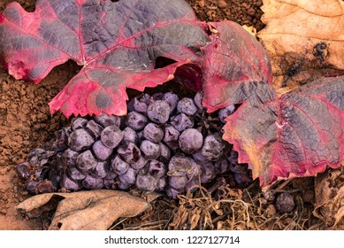 Cluster of drying wine grapes on the ground after the harvest with Autumn red leaves.