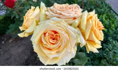 Cluster of enormous, cameleon, pale peachy & light yellow roses having outer, light greenish petals against a flowerbed. Close-up of a bicolour, light peachy & pale yellow-pale green roses.