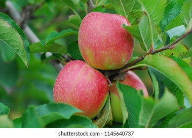 cluster of farm fresh red delicious apple fruit