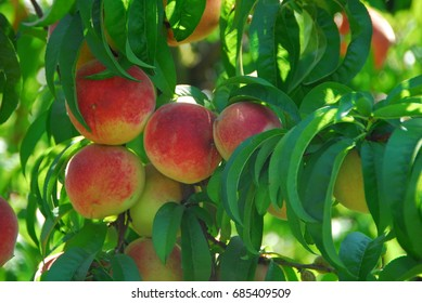 cluster of farm fresh red delicious peach fruit