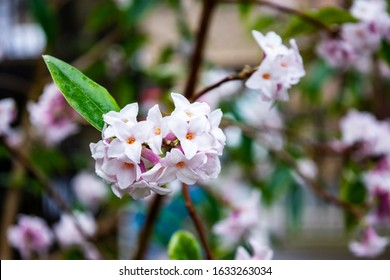 A  cluster of fragrent ligh pink 4 lobed flowers on a Daphne bholua 'Jacqueline Postill bush in late winter