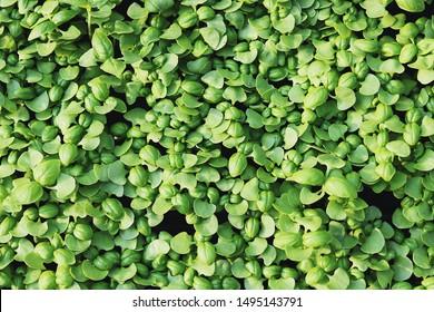 A cluster of fresh basil seedlings