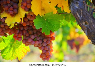 Cluster of Gewurztraminer grapes shortly before harvesting. Gewurztraminer is an aromatic wine grape variety, used in white wines, and performs best in cooler climates.