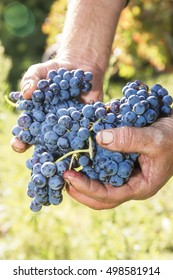 cluster of grapes for wine aglianico in hand just picker