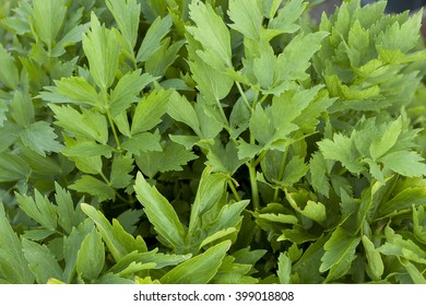 cluster green lovage (Levisticum officinale) as background
