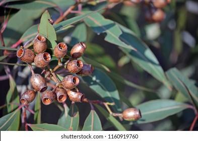 Cluster of gumnuts on a Red Bloodwood tree, Corymbia gummifera, Royal National Park, Sydney, NSW, Australia