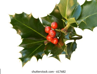 Cluster of holly leaves around berries