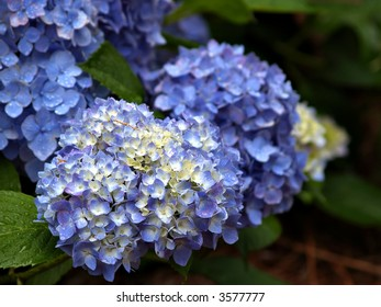 Cluster of Hydrangea flowers in blue and white