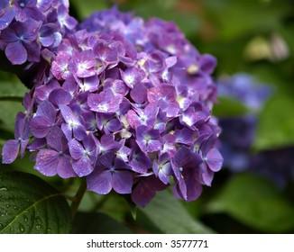 Cluster of Hydrangea flowers in purple