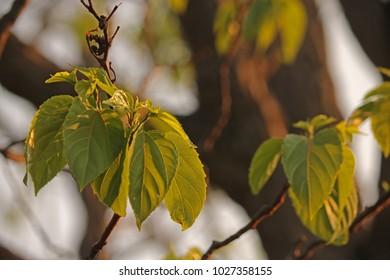 CLUSTER OF JAPANESE RAISIN TREE LEAVES
