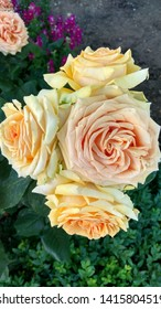 Cluster of large, light peachy, yellow roses close-up against the flowerbed ground. Magnificent, cameleon, two-color, pale peach-yellow roses against a flower bed.
