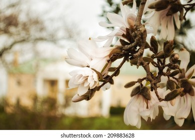 A cluster of Magnolia blooms on the tree against the backdrop of Bellevue Mansion.