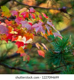 A cluster of maple leaves turned red in the autumn.  Green pine trees act as a background