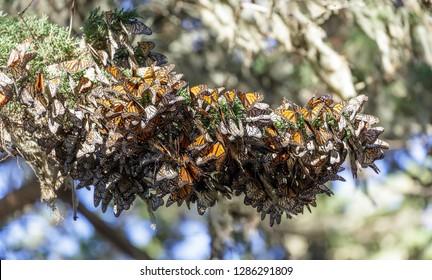 Cluster of Monarch Butterflies (Danaus plexippus). Monarch Grove Sanctuary, Pacific Grove, Monterey County, California, USA.