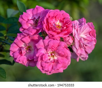 Cluster of new and old pink flowers of the Apothecary's rose (Rosa gallica var. officinalis) on the bush