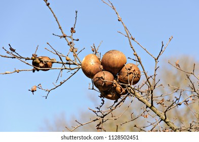 Cluster of Oak Galls on a Tree Branch