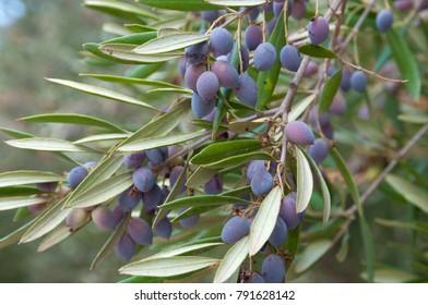 A cluster of olives