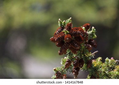 A cluster of open brown cones on the branch of an evergreen fir tree with a blurred background.