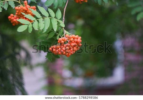 cluster-orange-mountain-ash-on-600w-1788
