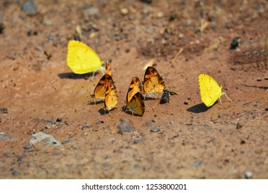 A cluster of orange sulfur butterflies with surrounding yellow sulfur butterflies on the ground at Cades Cove, Smoky Mountains National Park, Tennessee.