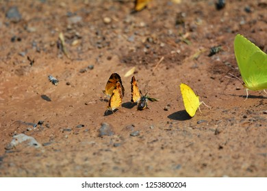 A cluster of orange sulfur butterflies with a yellow sulfur and cloudless sulfur butterflies on the ground at Cades Cove, Smoky Mountains National Park, Tennessee.