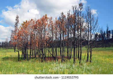 A cluster of pine trees remain standing, but burned as a wild forest fire passed through charring the trees and allowing the surrounding lush green grass to rebound.