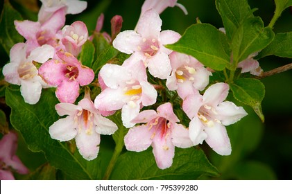 Cluster of pink Abelia flowers