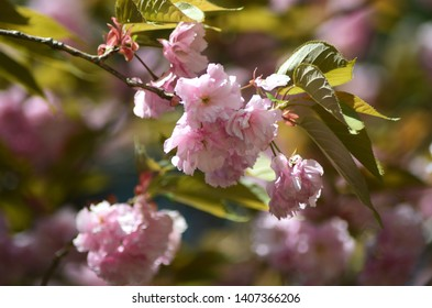 A cluster of pink cherry blossoms with some green leaves are on the end of a branch. More flowers are out of focus in the background.