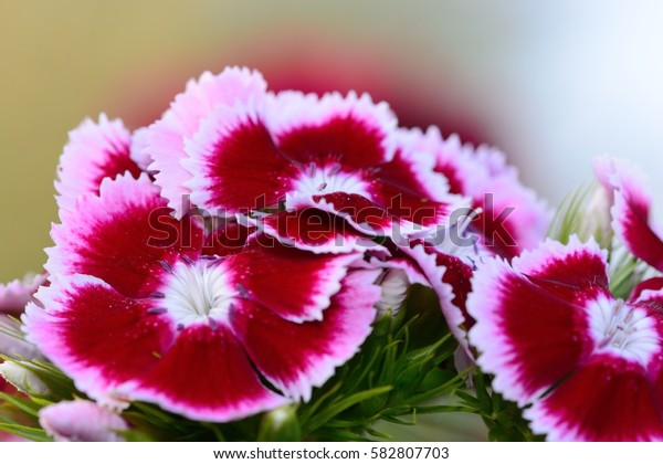 cluster of pink dianthus flowers