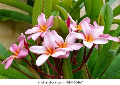 Cluster of Pink Frangipani's/Pink Frangipani's/Tropical Plant in Western Australia