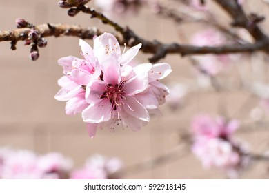 Cluster of pink and white blossoms on branch of a  peach tree
