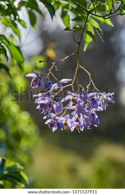 Cluster Purple Flowers Climbing Vine Known Stock Photo Edit Now