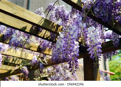 A cluster of purple and white climbing flowers hanging from a wooden frame.