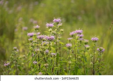 Cluster of purple wildflowers wild bergamot growing in a green grassy field