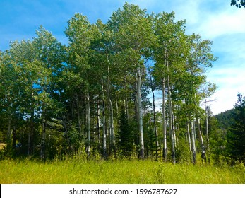 A cluster of Quaking aspen trees (Populus tremuloides) in a meadow at Rocky Mountain National Park, Colorado.