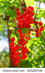 Cluster of red currant in sunbeams morning lights on green leaves background.