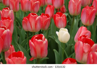 Cluster of red tulips with a single white one.