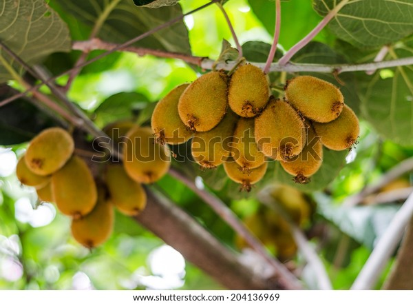 Cluster of ripe kiwi fruit on the branch.