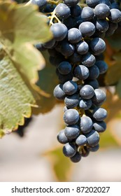 Cluster of ripe Shiraz grapes on the vine
