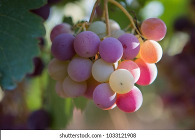 A cluster of ripening grapes in the vineyard