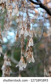 A cluster of seed pods from a Boxelder tree (Acer negundo).